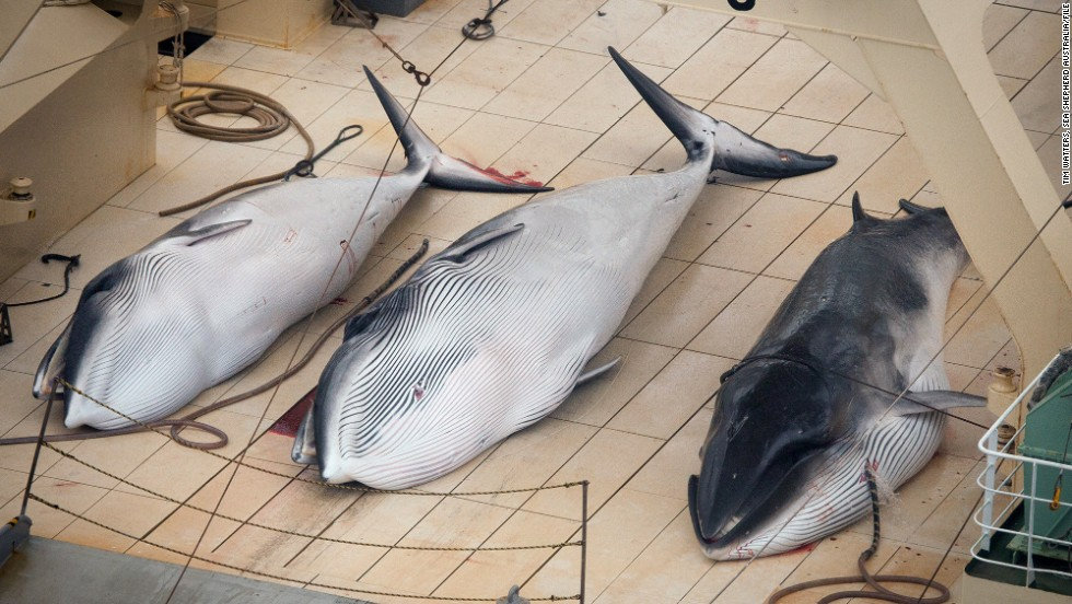 In+this+hand+out+photo+supplied+by+Sea+Shepherd+Australia+Monday+Jan.+6%2C+Three+dead++Minke+Whales+lie+on+the+%0Adeck+of+the+Japanese+ship+Nisshin+Maru%2C+in+the+Southern+Ocean%2C+Sunday%2C+Jan.+5%2C+2014.++Anti-whaling+group+Sea+Shepherd+said+they+found+all+five+of+the+Japanese+vessels+with+evidence+of+whale+kills+on+one.+Japan%2C+planning+to+kill+around+1%2C000+minke%2C+fin+and+humpback+whales+this+year+is+allowed+to+hunt+the+animals+for+scientific+purposes+under+an+exception+to+a+1986+ban+on+whaling.%28AP+Photo%2FTim+Watters+%2F+Sea+Shepherd+Australia%29%2A%2AHand+Out+Editorial+Use+Only+No+Sales%2A%2A