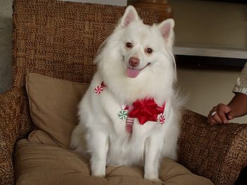 English: American Eskimo Dog with Red Nose/Imp...