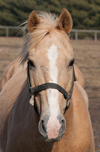 English: A horse (Equus caballus), taken in Ur...