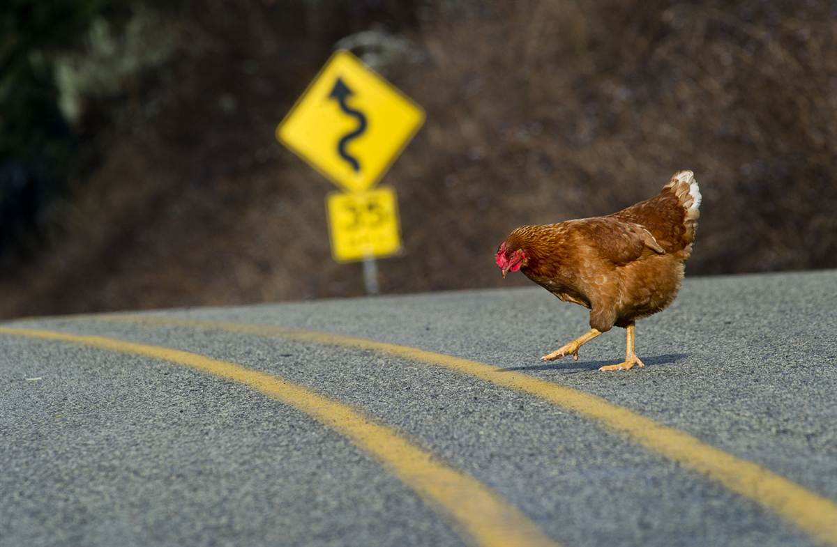 Image result for chicken crossing the road