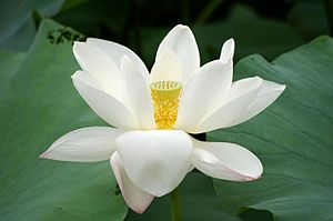 English: Lotus flower Polski: Kwiat lotosu (Photo credit: Wikipedia)