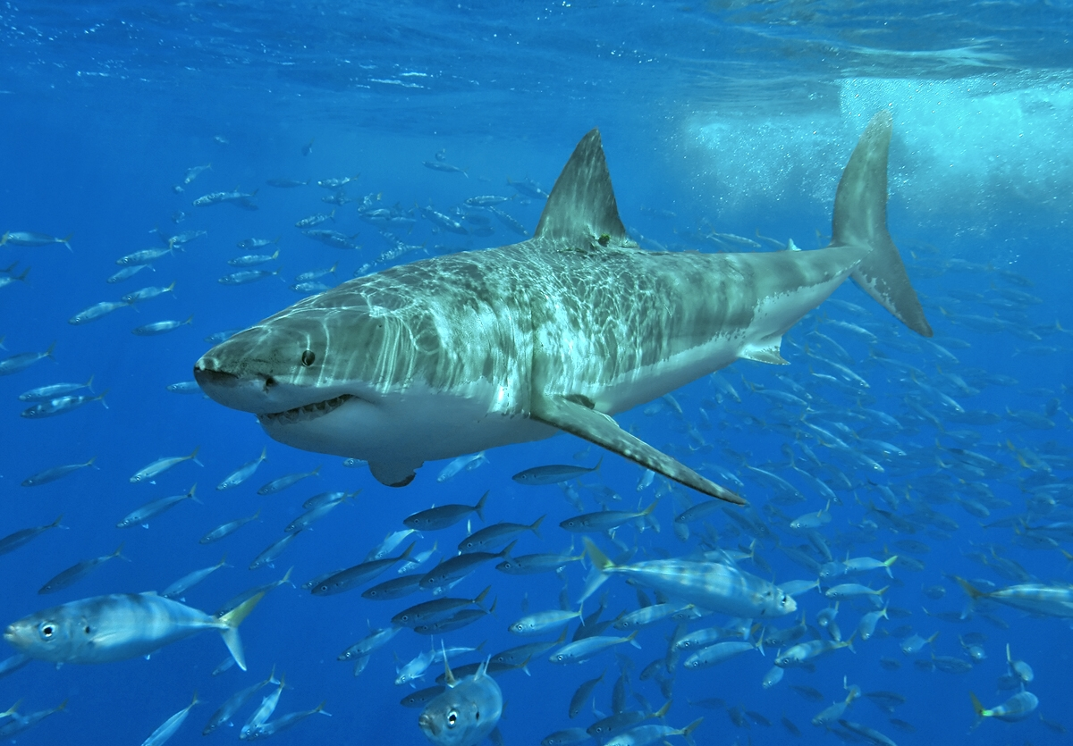 Man killed in Hawaii from a Shark attack